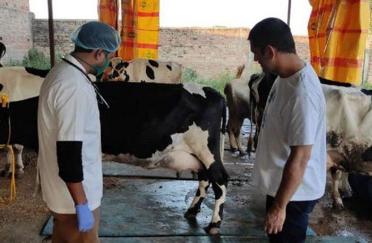 अब पशुपालन में भी हाथ आजमायेंगे धोनी, फार्महाउस में हो रही नई नस्ल की गाय तैयार