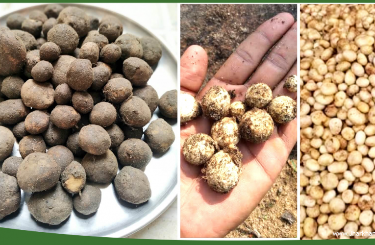 Rugda Mushrooms, Jharkhand's gem is found only in Jharkhand.