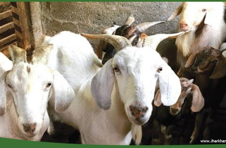 बकरीद पर बकरों की हो रही है डिजिटली सौदा, पहले डिजिटली मुंह दिखाई, फिर हो रही बकरों की विदाई..